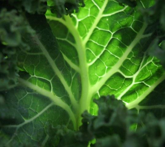 The emerald jewel of winter, Kale
