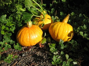 Beautiful squash grown in our compost